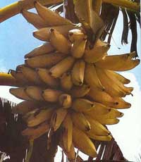 EU banana rules to face another WTO challenge