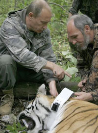 Putin's Tiger Healthy and Happy with New GPS Collar
