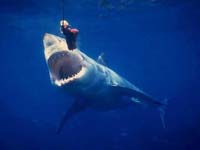 US fisherman could face federal charges after landing great white shark
