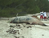 Brazilians rescue whale washed up on sandbar
