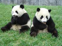 Zoo keepers concerned about pregnant panda