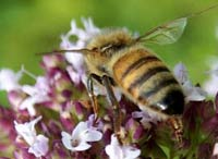 Unknown virus kills billions of honeybees in USA