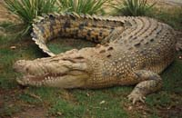 Endangered crocodile to find mate in matchmaking session in Malaysia