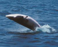 Minke whale gets stuck in Amazon jungle