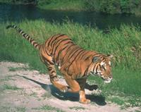 India's tiger population decreases 5 percent sharply