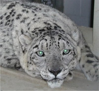Snow leopard, big beautiful cat, brings millions of dollars to animal smugglers