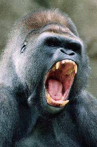 Gorilla escapes from enclosure at Rotterdam zoo