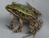 Five-legged frogs to invade rivers in Britain