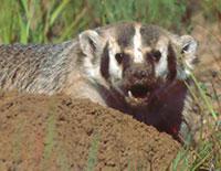 Rabid badger attacks Russian woman