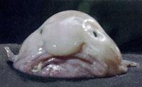 World's Strangest Fish To Become Extinct