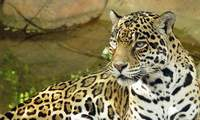 Jaguars and other big predators should not be kept in captivity
