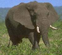 African officials propose to slaughter elephants to curb their growing population