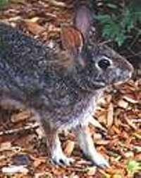 Rabbit named after Playboy magazine founder Hugh Hefner to get help from wildlife officials