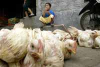 Four-year-old girl contracts bird flu, latest of 23 Egyptians to get the disease
