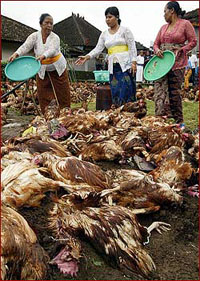 Romania to destroy 15 tons of chicken meat because of bird flu