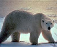 United States takes an important step to listing polar bears as threatened species