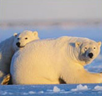 Pregnant polar bears leave sea ice to give birth on land