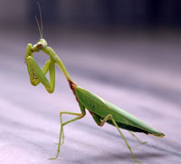 Love among the Praying Mantises across the Atlantic (Part I)