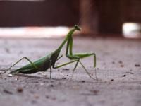 Love among the Praying Mantises across the Atlantic (Part II)