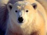 U.S. wants to list polar bears as threatened species