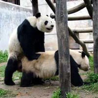 Solid research plus a little porn said to spark a baby boom among captive pandas