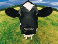Canada faces mad cow disease anew