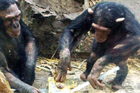 Chimpanzees pass on customs and culture just as humans do