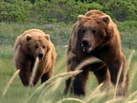 Grizzlies flourish in Rocky Mountains