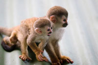 Man With 18 Titi Monkeys Wrapped Around His Waist Arrested at Mexico City Airport
