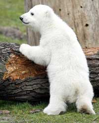 Knut, polar bear cub, becomes commercial object at German zoo