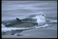 Minke whale stranded on sandbars in Brazil Amazon to be transported to ocean