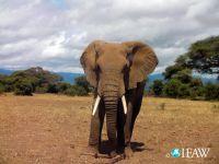 Saving the elephant: International ban on ivory. 47124.jpeg