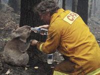Bushfire Rescue Sam the Koala Dies