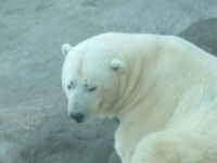 Polar bear attacks Russian meteorologists in Chukotka. 48130.jpeg
