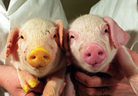 Japanese geneticist says he created first fourth-generation cloned pig