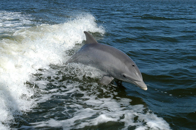 Dolphins use social networks along with people. Dolphin