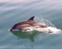 US researchers aim to design a prosthetic tail for injured dolphin
