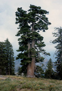Sierra trees dying at alarming rate as climate warms