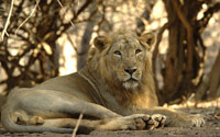 5 rare lions killed by electrified fence