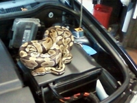 Giant Python Found in Car Engine