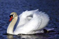 Chinese farmer to spend 12 years in jail for killing swan