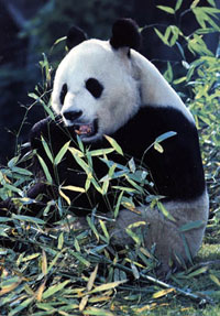 Male panda goes to Chine for breeding