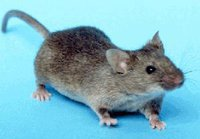 Russian Space Agency loses group of mice and gerbils in space. 50147.jpeg