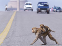 India can't cope with aggressive monkeys
