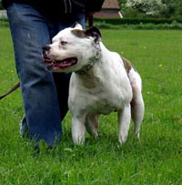 Bulldog in Germany rips 10-year-old from bicycle, causing severe injuries