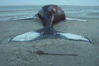 Whales and dolphins commit mass beaching suicides because of mysterious sea monsters