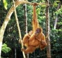 Orangutans under threat in Indonesia