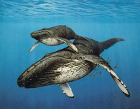 Lost whales return to Pacific Ocean