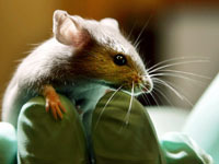 Special drug extends average life span of obese mice. 45173.jpeg
