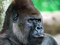 Gorillas face total death